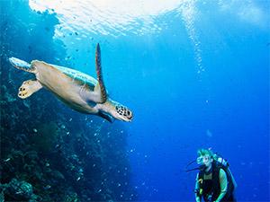 Turtle in Gold Coast Seaway